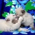 НЕВСКИЕ МАСКАРАДНЫЕ голубоглазые котята из питомника Жемчуг Невы. Сайт питомника: www.kiskaneva.narod.ru