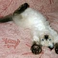 НЕВСКИЕ МАСКАРАДНЫЕ голубоглазые очаровательные кошки и котята из питомника Жемчуг Невы. Другие ПРИКОЛЬНЫЕ ФОТО на сайте питомника: http://kiskaneva.narod.ru