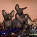 Потрясающие котята канадского сфинкса за 15тыс.руб. продаются,  торг уместен,   3.5мес. Срочно т.89263607021