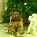 Наша хулигашка Бэтюшка. Новогоднее фото....