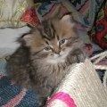 моя Крыска (Мурочка) в 2 месяца (сибирская+персидская) - вредина!