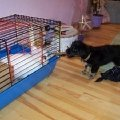 Кролик - Мерэлин Монро и щенок - Ника