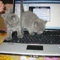 Нашим котятам-бриташкам исполнился месяц,   осваивают ноутбук