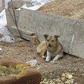 щенок родившийся на стройке и один убежавший от отстрела. спаси его Господи!