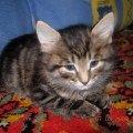 Мой любимый котенок Гриша.купили недавно но в него уже влюбилась вся семья и все мои друзья.