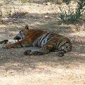 Тигра расслабляется