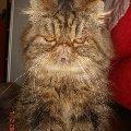 экзотическая кошка Сарра Ксения в любимой позе местного кошачьего фюрера