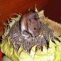 На даче: мышка-полевка пробралась снять пробу с урожая