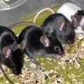 Ну-ка,   мышки,   встаньте в ряд!