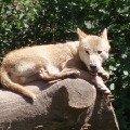 волк на отдыхе