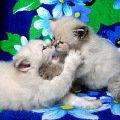 НЕВСКИЕ МАСКАРАДНЫЕ голубоглазые кошки и котята из питомника Жемчуг Невы. Посетите сайт питомника: http://kiskaneva.narod.ru
