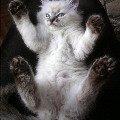 НЕВСКИЕ МАСКАРАДНЫЕ голубоглазые кошки и котята питомника Жемчуг Невы. Посетите сайт питомника: http://kiskaneva.narod.ru