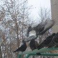 Лечу к Вам!  <br /> Мой дедушка хозяин голубятни. Вот его голуби.