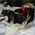 Маламут - мощная ездовая собака. Очень красив в движении.