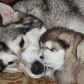Маламут и щенок