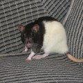 Моя любимая крыса брунгильда.