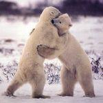 Белые медведи иногда дерутся из-за пищи.  Но эти просто играют.