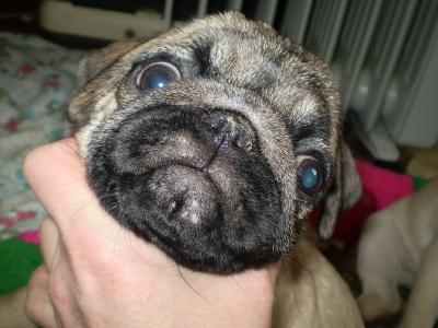 Ветеринарный форум - Белые прыщи на губах у мопса - Вопросы ...