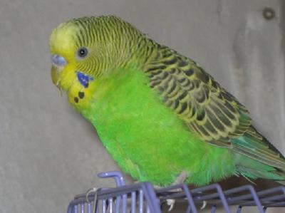 Ветеринарный форум - Перхоть и чесотка у волнистого попугая ...