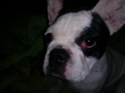 Ветеринарный форум - воспаление глаза у французского бульдога ...