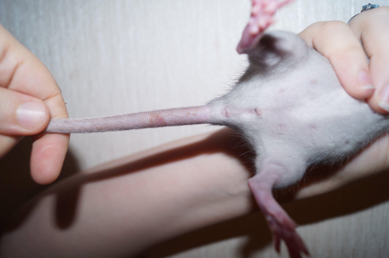 Почему у крысы хвост голый действительно