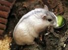 Из всех карликовых хомячков джунгарский хомяк (Phodopus sungorus) больше всего подходит для приручения.