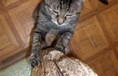 Вредные привычки кошек 230x150badcat