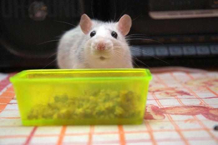 Мышь Крыса