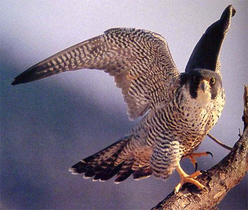 Сапсан Дикие птицы.  Виды диких птиц, фото и описание.