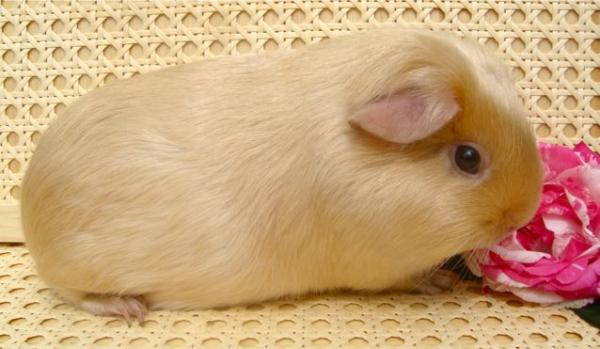 Морская свинка английская  Грызуны и зайцеобразные. Виды грызунов, фото и описание