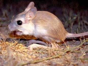 Тушканчик Грызуны и зайцеобразные. Виды грызунов, фото и описание