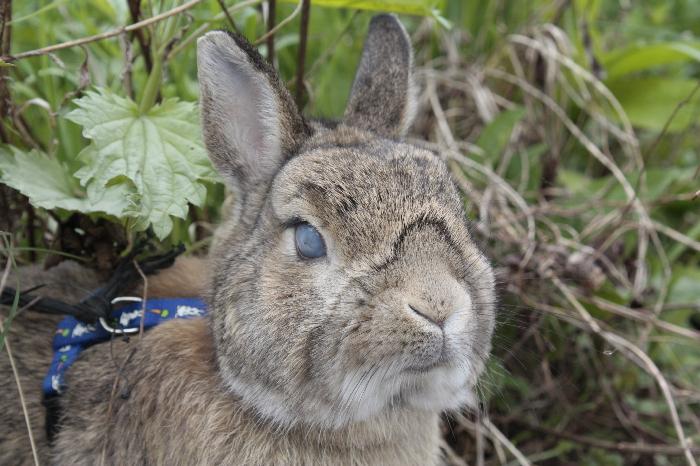 Роджер Кролик карликовый