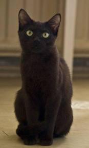 Блёсточка. Тайская короткошерстная кошка (ТНА)