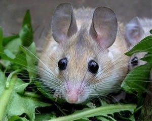 Иглистая египетская мышь Грызуны и зайцеобразные. Виды грызунов, фото и описание