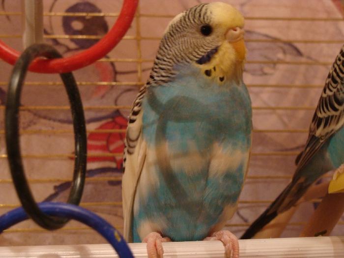 глаша Волнистый попугай