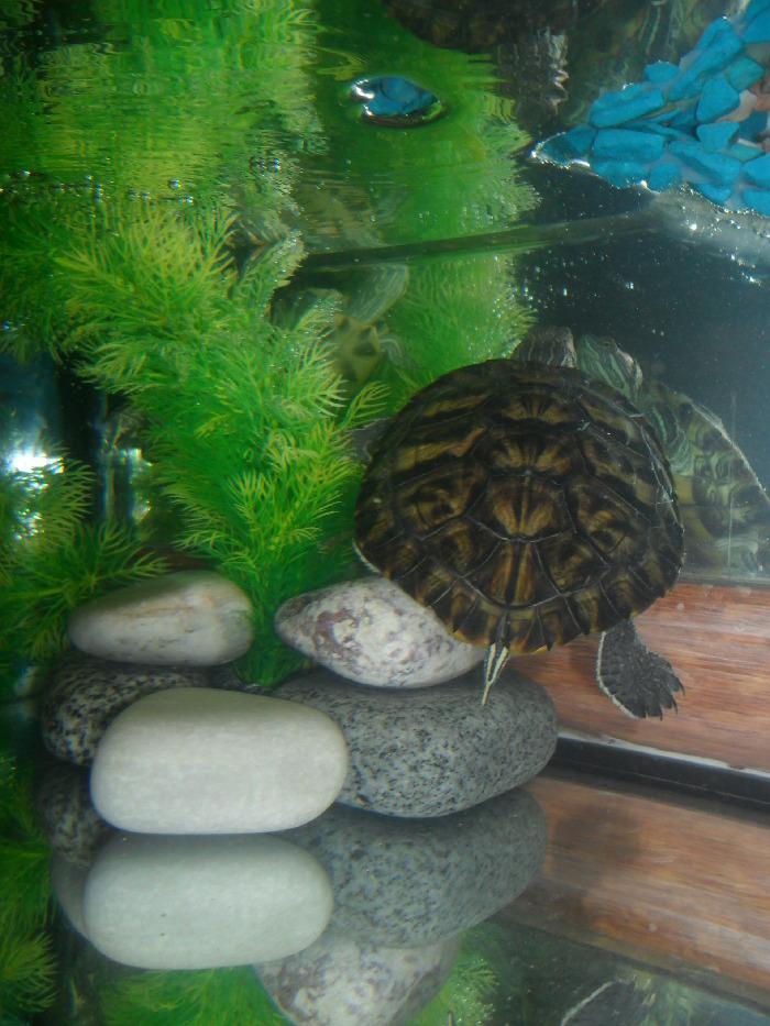 Красноухая черепаха ромашка