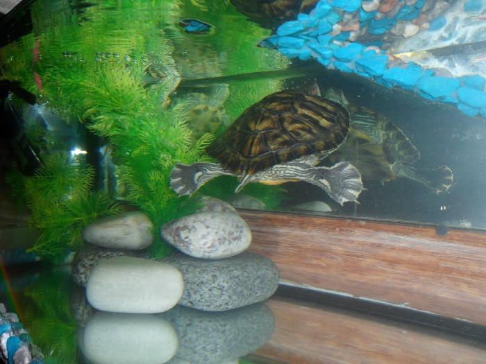Фото МОНЯ. Моня. Красноухая черепаха - Черепахи. Виды черепах, фото и описание