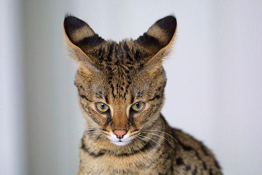 все породы кошек фото и названия цены