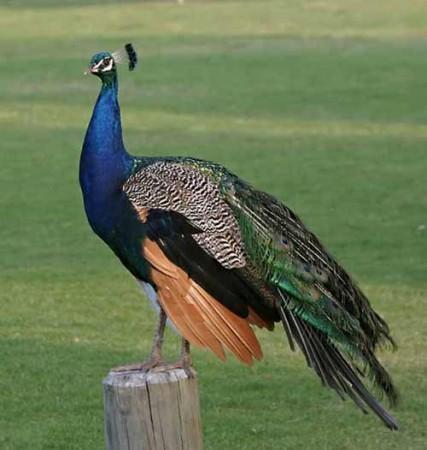 Павлин Домашние птицы. Виды домашних птиц, фото и описание