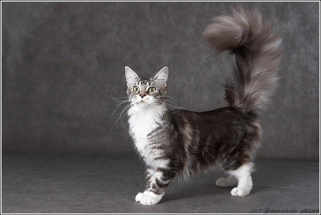 Мэйн-кун (Мэнская енотовая кошка) (MCO) Кошки. Каталог пород кошек, виды кошек, фото и описание