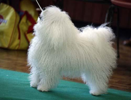 Болоньез фото собаки