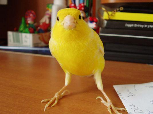 Канарейка Попугаи. Виды попугаев, фото и описание