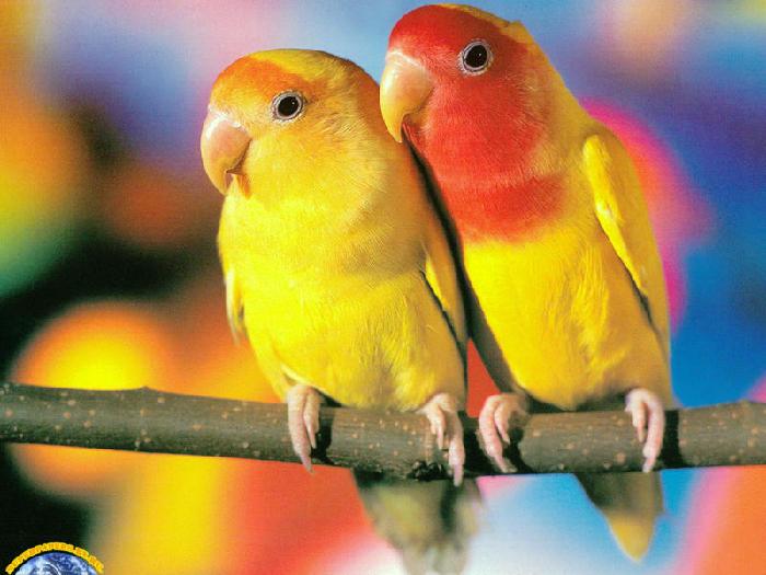 Неразлучники Попугаи. Виды попугаев, фото и описание