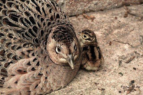 Фазан Домашние птицы. Виды домашних птиц, фото и описание