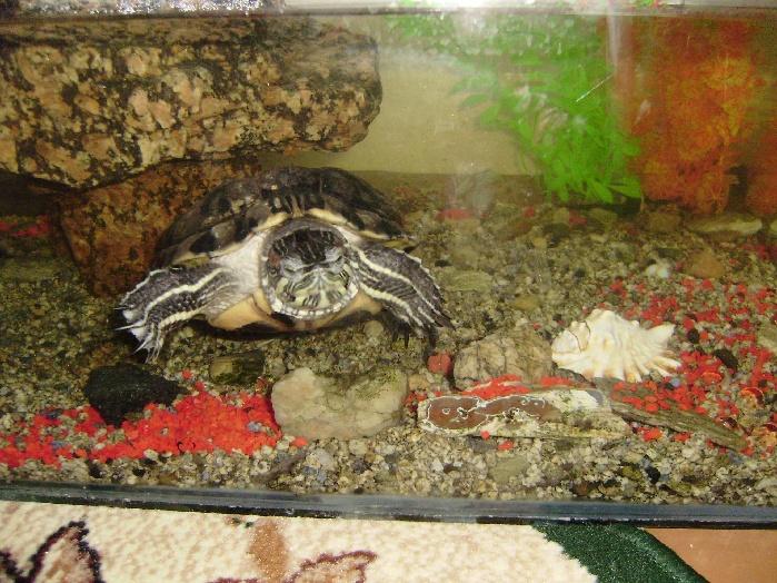 Раиса Красноухая черепаха