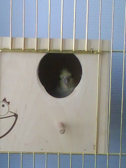 Гнездо для кореллы своими руками с фото