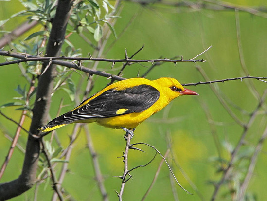 Иволга Дикие птицы.  Виды диких птиц, фото и описание.