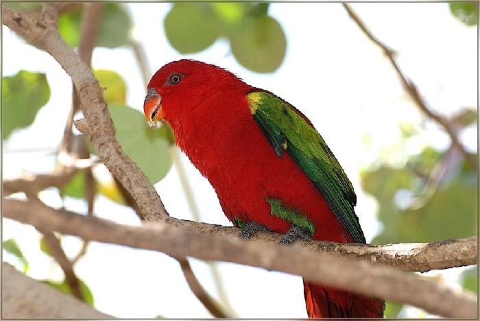 Лори Попугаи. Виды попугаев, фото и описание