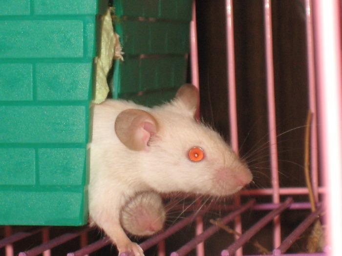 Саша Мышь домашняя