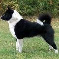 Русско-Европейская лайка - порода охотничьих собак, получена от слияния...